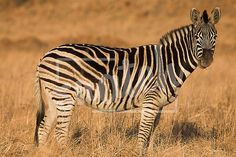 Zebra grazing in the veldt – Rietvlei, South Africa (Winter) Snatch Stock Images - Stock Photography The Veldt, Vector Graphics, Animal Photography, South Africa, Vectors, Pets, Videos, Winter, Animals