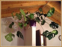 That's my very personal ficus plant :D