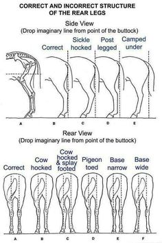Diagram of rear leg structure. I like my horses a little cow hocked :)
