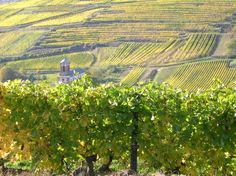 Vineyards from Alsace - France