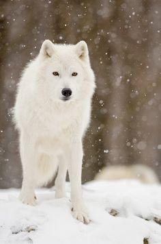 Los lobos árticos habitan en las islas árticas de Canadá y las costas este y norte de Groenlandia, más al norte de la latitud 68° N, pero no en témpanos de hielo. El medio es extremadamente áspero, el helado invierno largo y oscuro, ni siquiera los Inuit viven tan al norte.  Como caso excepcional en las subespecies de lobo, el lobo ártico todavía puede ser encontrado en todo su hábitat natural original, debido a que en este entorno rara vez encuentran presencia humana.
