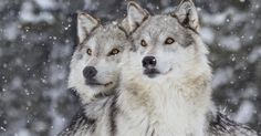 Washington State to Kill Entire Wolf Pack - Mercy For Animals