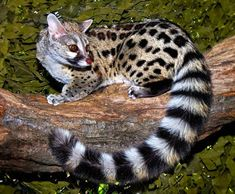 Large spotted genet - Genetta tigrina Genets are Old World mammals from the… Interesting Animals, Unusual Animals, Majestic Animals, Rare Animals, Animals And Pets, Strange Animals, Beautiful Cats, Animals Beautiful, Mundo Animal