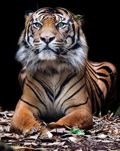Sumatran Tiger | Photo by ©David Whelan #wildlives