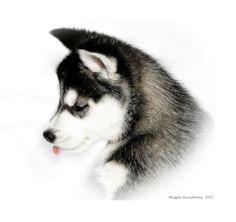 Portrait of a Siberian Husky Puppy