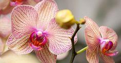 Comment entretenir et faire refleurir une orchidée Phalaenopsis.  http://rienquedugratuit.ca/videos/comment-entretenir-et-faire-refleurir-une-orchidee-phalaenopsis/