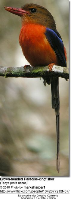Brown-headed Paradise Kingfisher, Tanysiptera danae: PNG