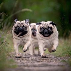 Thank you to our friends ↪️@VikingMops! Tag someone who loves #Pugs! ・・・ ・・・⠀ #pug #pugpower #dogs #pugsnotdrugs #pugpuppy #puglove #cuteness #puglover #pugnation #dogstagram #dogsofinstagram #puppyeyes #pugstagram #pugworld #pugplanet #dogsofinstaworld #petstagram #instadog #instapug #babypug #pugsofig #pugsforever #pugoftheday #dogsofig