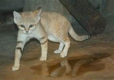 Sand Cat Population - Bing images Felis Margarita, Dover Demon, Megamouth Shark, Basking Shark, Sand Cat, Black Lion, Legendary Creature, Black Tigers, Extinct Animals