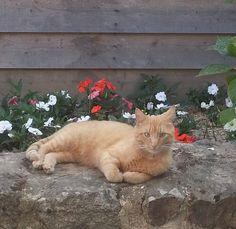 chat âgé de 2 ans,perdu depuis deux semaines contact: geraldinecapo@sfr.fr
