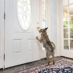 A simple solution to a door scratching problem. Train your dog with the CLAWGUARD® door shield. Attaches to the door handle and protects your door from scratches Pet Screen Door, Magnetic Screen Door, Pet Door, Pet Barrier, Pet Safe, Frames On Wall, Dogs And Puppies, Dog Cat, Pets