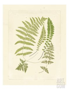Ferns with Platemark II Giclee Print at Art.com