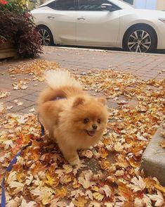 Adorable #Pomeranians #Adorable