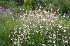 Gaura lindheimeri 'Whirling Butterflies' - Long-lasting, white flowers.  Copes well with drought