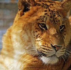 liger pics image search results