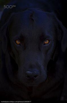Wunderschöne #Labrador Hündin © Zoran Pucarevic   500px.com   #lab #LabradorRetriever