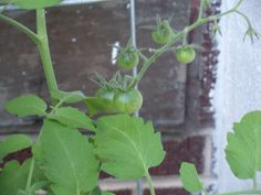 early sungold tomatoes