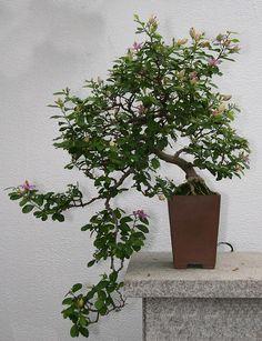 Photo du bonsai : Grewia occidentalis (Grewia occidentalis)