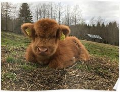 Highland Cattle are a Scottish cattle breed. They are adapted to the cold weather and stay outside throughout the year. We have been raising these fluffy cows since 2007 on our farm in Finland. Cute Baby Cow, Baby Cows, Cute Cows, Baby Farm Animals, Baby Elephants, Fluffy Cows, Fluffy Animals, Animals And Pets, Strange Animals