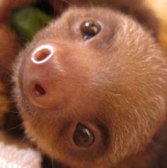 Like sloths? Video of cute baby sloths. So cute!