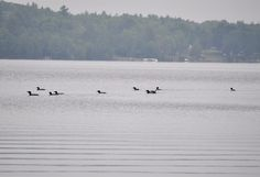 Loons like to meet up with their friends and hang out all day.