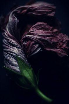 Shrinking petals captured by photographer Alan Shapiro. Dark Flowers, Beautiful Flowers, Gothic Flowers, Wilted Flowers, Billy Kidd, Midnight Garden, Arte Obscura, Dark Beauty, Gardening