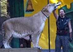 Liger at King Richard's Faire - Massachussets United States.