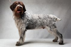 Higgins the Wirehaired Pointing Griffon (sporting). Higgins, registered as Flatbrooks Heir About Him MH, is owned by Graham Rogney, Kristi Rogney and Dick Byrne. (Fred R. Conrad, a New York Times photographer, set up a studio at the 2013 Westminster Kennel Club dog show and invited Best of Breed winners to pose.)