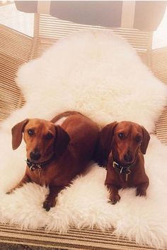 Rosie Huntington-Whiteley's dachshunds, Dolly and Peggy