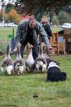 Démonstration de conduite d'un troupeau d'oies #troupeau #ferme #animaux