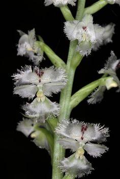 Huttonaea fimbriata-010