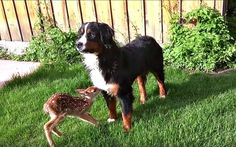 This fawn and dog friendship will have you reaching for the tissues