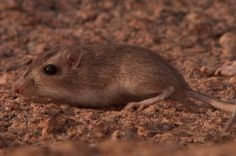 A great 10 min. video about natural selection in populations of pocket mice.