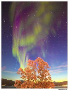 Nordlicht über Birke, Norwegen; Troms; Tromsø; Kvaløya; Nordlicht; Polarlicht; Aurora borealis; Dämmerung, Sternstrichaufnahmen; Pflanzen; Baum; Birke; betula sp.; violett; Norway; Troms; Tromso; Kvaløya; northern lights; polar light; aurora borealis