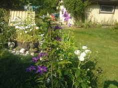 Rose,sweet peas and clematis