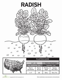 Onion plant diagram google search plants pinterest go green and grow your own vegetable garden with this helpful cheat sheet you ccuart Images