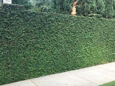Plants for Dallas - Your Source for the Best Landscape Plant Information for the Dallas-Ft. Worth MetroplexBest Vines for Dallas, Texas — - Modern Design Ficus Pumila, Wall Climbing Plants, Climbing Vines, Vine Fence, Landscape Design, Garden Design, Fast Growing Vines, Living Pool, Ivy Wall