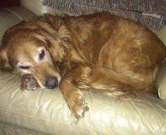 This is Gracie Mae - 9 yrs. She is spayed, current on vaccinations, potty trained, walks well on leash, good with dogs and cats. She has some arthritis she takes Tramadol daily and is on Science Diet K/D food since her bloodwork showed some kidney damage. She is a sweet, gentle girl. Fur Fun Rescue Lisbon, IA. - https://www.furfunrescue.org/home-page.html http://www.adoptapet.com/pet/16590832-lisbon-iowa-golden-retriever - https://www.petfinder.com/petdetail/36198509