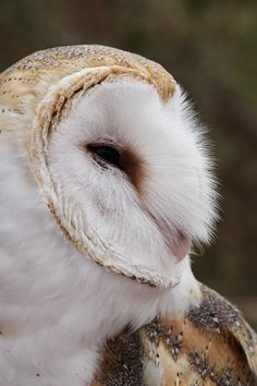 """ Barn Owl """