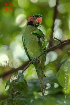Long-tailed Parakeet (Psittacula longicauda 长尾鹦鹉) | by UncleFai