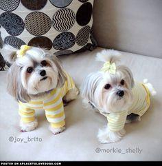 Morkie Pyjama Party
