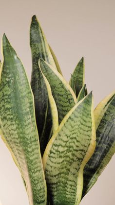 La más potente de las plantas purificadoras tiene nombre... Planta de la Serpiente 🌿🐍  Sus hojas a la par que hipnóticas son capaces de filtrar todo el CO2 acumulado en el aire por O2, consiguiendo que respires un aire más limpio, puro y más sano. 🌱🌬️  Pss pss... Además sus cuidados son de lo más básicos y sencillos. ¡Qué maravilla! 🌿  Consigue la tuya en Be.Green: 📦  Envío gratis a domicilio en 24/48h  📝  Guía de cuidados  ✨  Macetas únicas  🌿  Garantía de 20 días Cool Plants, Cactus Plants, Orchid Care, Snake Plant, Little Plants, Garden Spaces, Plant Decor, Interior Design Living Room, Garden Landscaping