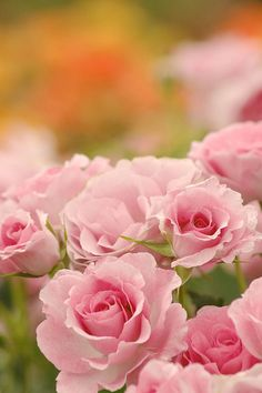 Pretty in pink roses Love Rose, Pretty Flowers, Pretty In Pink, Happy Thursday, Happy Day, Thursday Quotes, Hello Thursday, Thursday Morning, Sunday