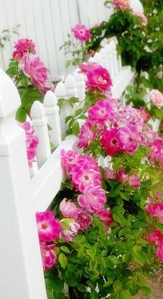 175 best color pink green images on pinterest roses pink and pink green pink garden summer garden dream garden knockout roses rose mightylinksfo