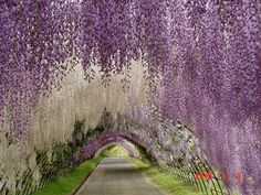 This stunning flower walkway is known as the Wisteria Tunnel, situated in the Kawachi Fuji Garden in Kitakyushu, Japan