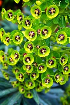 Closeup of Euphorbia plant