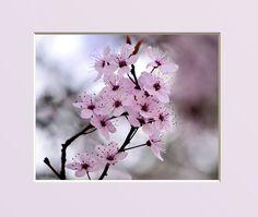 Cerisier du JAPON de JO And Co . FR