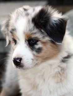 Australian Shepherd pup.