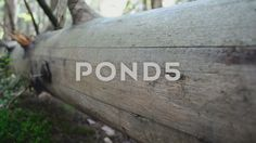 Video footage. Pond5.com. Trunk without bark.  #background #bark #beautiful #beauty #canopy #cedar #countryside #destination #environment #fern #foliage #forest #green #greenery #habitat #hill #horizontal #landscape #moss #mossy #mountain #natural #nature #nobody #northwest #olympic #outback #outdoor #park #peaceful #pine #plants #rain #rain-forest #rainforest #recreation #scenery #scenic #slider #specie #stone #timber #trail #tree #tropical #wild #wilderness #wood #wooden  #Video #footage
