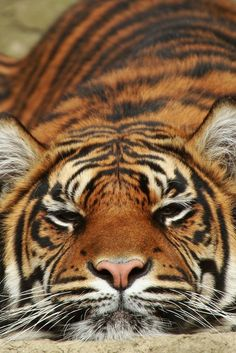 Beautiful Tiger - April 2015 - We Love Cats and Kittens Crazy Cats, Big Cats, Cats And Kittens, Beautiful Cats, Animals Beautiful, Bengalischer Tiger, Tiger Eyes, Chat Lion, Animals And Pets